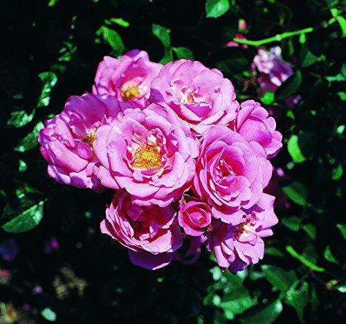 'Bella Rosa' R Beetrose