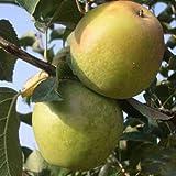 MELO COX ORANGE NANO IN VASO 20CM piante da frutto nane vaso
