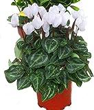 Alpenveilchen weiß - Cyclamen persicum - Zimmerpflanze,blühend - Balkonpflanze Garten- Pflanze im 11 cm Topf