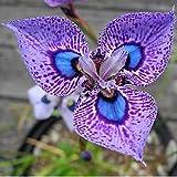 swiftt Phalaenopsis Orchideen Samen Schmetterling Orchidee Blumen Samen Blumensamen