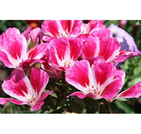 Creative Farmer Godetia Azalea Double Flowered Mix Flower Seeds Amazon In Garden Outdoors