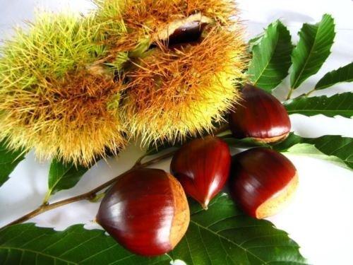pianta Castagne h 150 radice nuda in zolla 1^ scelta extra castagno