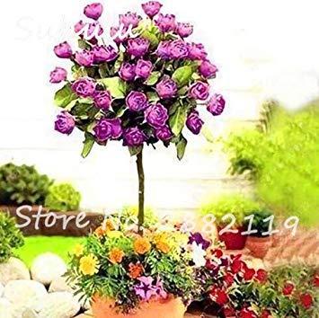 Vistaric 50 pcs Rare Belle Romantique Rose Rose Rose Graines De Fleurs De Maison Décoration Murale et De Fête/Décoration De Mariage bricolage Maison Jardin Des Plantes 1