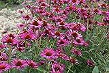 Echinacea purpurea 'Rubinstern' - 3 Pflanzen im 0,5 lt. Vierecktopf