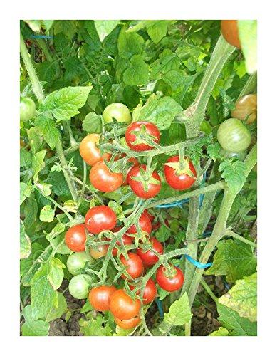 Les Graines Bocquet - Graines De Tomate Cerise - Graines Potagères À Semer - Sachet De 0.5Grammes