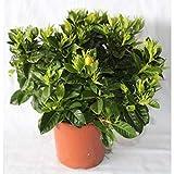 Gardenia (maceta 15 cm Ø)