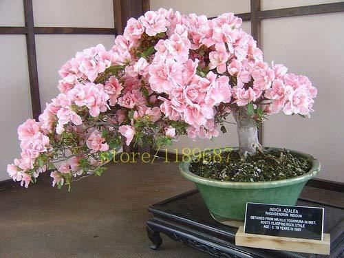 Pinkdose 10 pcs nouveau bonsaïs sur le bureau fleurs de cerisier japonais de fleurs sakura pour la décoration couleur rare pour les planteurs de pot de fleurs: 4
