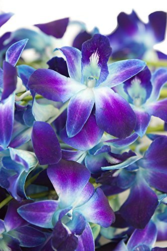 fresh-cut-flowers-dendrobium-orchids-bom-tinted-blue-free-ribbon-by-n-a