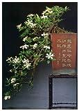 TROPICA - Gardenia (Gardenia jasminoides) - 30 Semi- Bonsai
