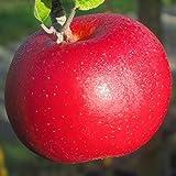 Müllers Grüner Garten Shop Roter Berlepsch, historische Sorte Apfelbaum, Leuchtend Rot