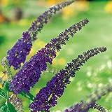 Schmetterlingsflieder Empire Blue - Sommerflieder (Buddleja) Pflanze in blau, lila halbschattig und winterhart - Flieder-Strauch von Garten Schlüter