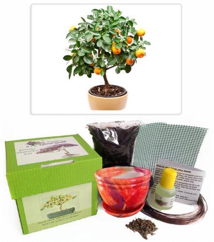 citrus-tree-bonsai-kit-ceramic-pot-seeds-soil-liquid-fertilizer-training-wire-drainage-whole-cover-e