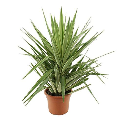 Die schönste Zimmerpflanze der Welt ! Yucca elephantipes 1 Pflanze ca 120 cm groß Anspruchslos von jedermann zu pflegen