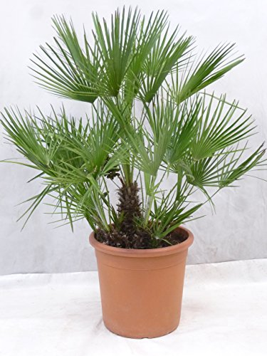 [Palmenlager] - Chamaerops humilis 120/140 cm - Stamm 20/30(!) cm // winterharte Palme -12°C