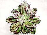 #5: K S Trading Live Succulent Plant Echeveria Nodulosa
