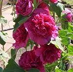 lichtnelke - Stockrose (Alcea rosea p...