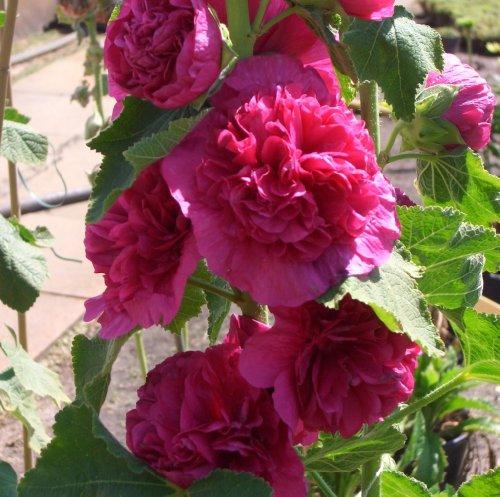 Stockrose Fee Blumensamen