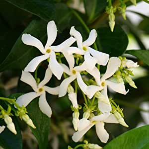 Trachelospermum - Hardy Jasmine Climbing plant 80-120cm tall