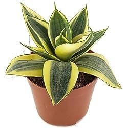 Sansevieria trifasciata 'Golden Hahnii', Zwergsorte des bekannten Bogenhanf - sehr schöne Sukkulente/Sanseverie - dekoratives Dickblatt - pflegeleichte Zimmerpflanze