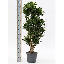 Grünpflanze Wenig Licht suchergebnis auf amazon de für zimmerpflanzen wenig licht