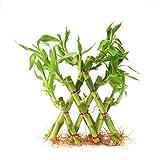 #9: Ugaoo Lucky Bamboo Plant - 3 Layer Pyramid Shaped