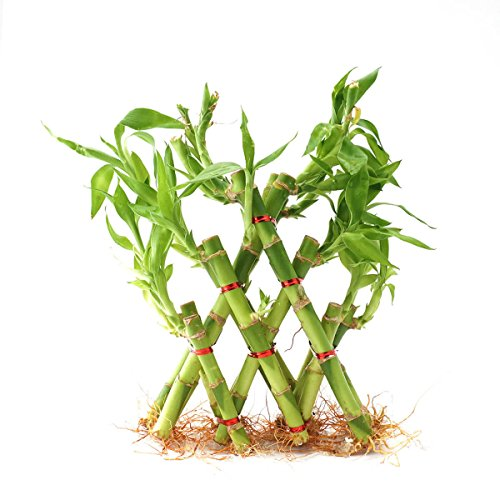 Ugaoo Lucky Bamboo Plant - 3 Layer Pyramid Shaped