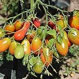 10 Samen Chio Chio San Tomate - riesige Fruchtstände, fruchtiges Aroma