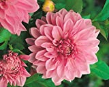 Dahlia, Dahlien, Georginen Lavender Perfection - Blumenzwiebel / Knolle / Wurzel