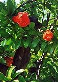 TROPICA - Melograno nano (Punica granatum nana) - 50 Semi- Resistente al freddo