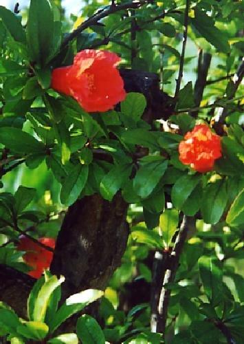 Wissenswertes Tamarillo (Cyphomandra