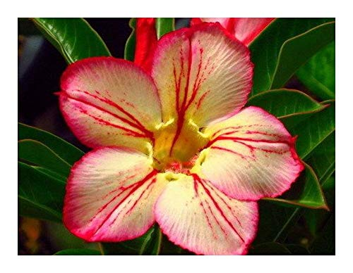 Adenium obesum 3171 - Rose du désert - Faux baobab - 3 graines