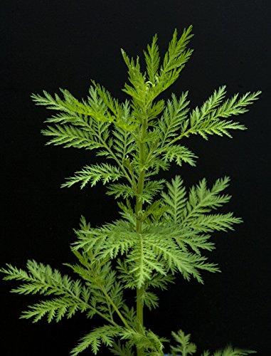 Qing-Guo Artemisia annua 50 Samen