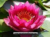 1 Seerose der Sorte James Brydon, rote Blüte für den Teich, Teichpflanzen, Wasserpflanzen