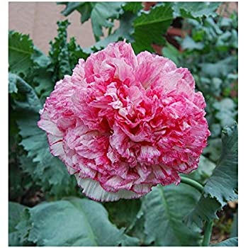 UK seller,for 2 packs Beautiful pink poppy peony seeds