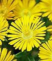 """BALDUR-Garten Winterharte Eisblume """"Golden Wonder"""";3 Pflanzen, Delosperma congesta von Baldur-Garten auf Du und dein Garten"""