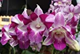 Azalea Garden Rare Dendrobium Orchid Big King Dragon 1 Small Healthy Live Plant with Pot