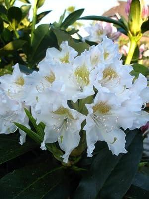 Alpenrose Rhododendron Cunningham's White 70 cm hoch mit Ballen von Plantenwelt Wiesmoor bei Du und dein Garten