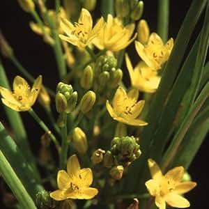 Plant World Seeds - Bulbine Caulescens Seeds