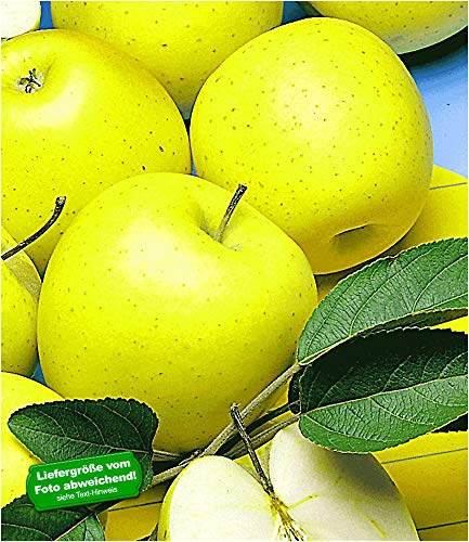 BALDUR-Garten Säulen-Apfel 'Golden Delicious', 1 Pflanze Apfelbaum