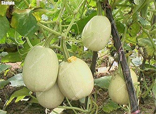 40pcs/sac citrouille exotiques semencier japonais délicieux Cucurbita fil d'or de citrouille Bonsai Plante en pot de légumes Livraison gratuite 13