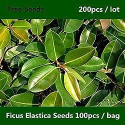 Shopmeeko ^^ Familie Moraceae Ficus Elastica ^^^^ 200pcs, Zierpflanze Kautschukfeigenbaum ^^^^, weit verbreiteter indischer Gummibusch ^^^^