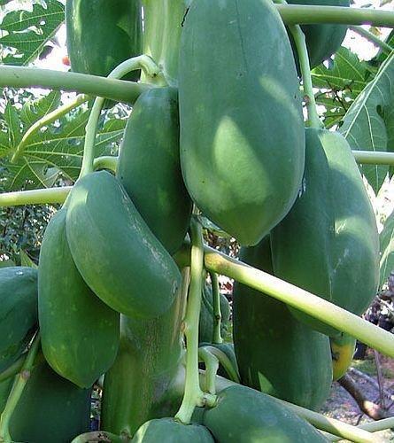 Carica papaya – Papaya – Melonenbaum – 15 Samen