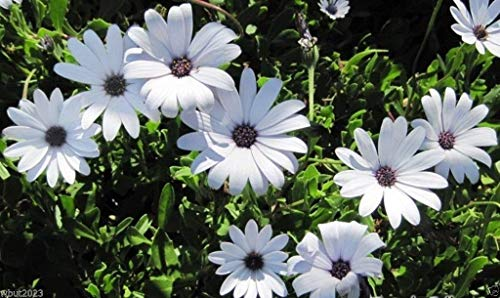 Virtue African Daisy Seeds - white,Perfect for garden or container. 100 seeds !