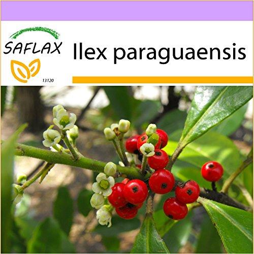 SAFLAX - Yerba mate - 10 semillas - Ilex paraguaensis