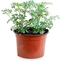 Ruda (Maceta 10,5 cm Ø) - Planta viva - Planta aromatica