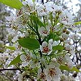 Shopmeeko 20 teile/beutel sakura brunnen weinende kirschbaum zwerg japanische blüten bonsai blume für diy hausgarten pflanze: 09