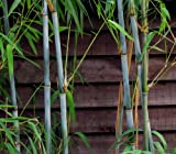 100 + frische weiße Bambussamen (Fargesia Albocerea)