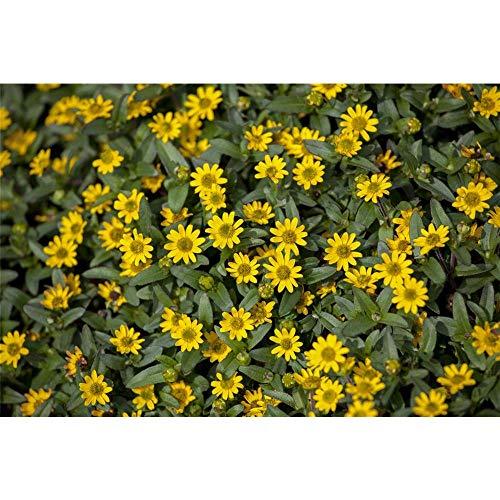 OBI Kleine, gelbe Blüten