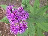 Vernonia noveboracensis - Im 1 lt. Rundtopf