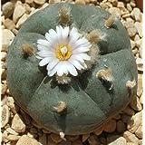 Lophophora williamsii - Peyote, Botón de Mezcal, Jícore - 10 semillas